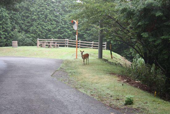 鹿が散歩中